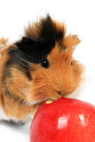 Adorable guinea pig pet with apple on white Stock Photos