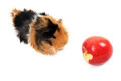 Adorable guinea pig pet with apple on white Royalty Free Stock Images