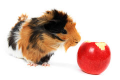Adorable guinea pig pet with apple on white Royalty Free Stock Photography
