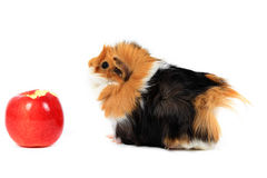 Adorable guinea pig pet with apple on white Stock Photography