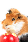 Adorable guinea pig pet with apple on white Stock Images