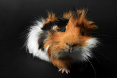 Adorable guinea pig pet on black Stock Image