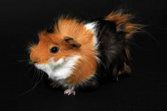 Adorable guinea pig pet on a black background Royalty Free Stock Photo