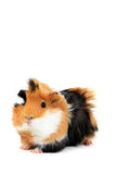 Adorable guinea pig pet isolated Stock Image