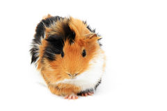 Adorable guinea pig pet on white Royalty Free Stock Images