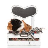 Adorable guinea pig resting on its wooden bed. With grey heart, on white background Royalty Free Stock Image