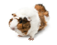 Adorable guinea pig small house pet Stock Photography