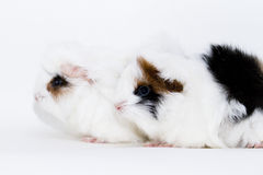 Adorable guinea pigs. Cute little black and white guinea pigs Royalty Free Stock Photo