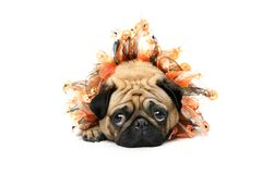 Adorable Halloween Pug. Fawn Pug wearing Halloween collar and lying on floor. Isolated on white Royalty Free Stock Photography