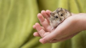 Hamster Cuteness in a childs hands
