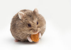 Adorable hamster eating fat. Stock Images