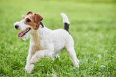 Adorable happy fox terrier dog at the park stock images