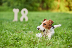 Adorable happy fox terrier dog at the park 2018 new year greetin. Adorable wire fox terrier lying in the grass at the park playing with a stick 18 number on the Royalty Free Stock Image