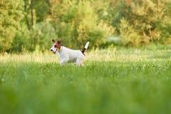 Adorable happy fox terrier dog at the park stock photos