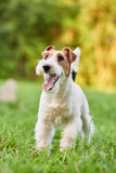Adorable happy fox terrier dog at the park royalty free stock photo