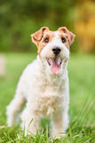 Adorable happy fox terrier dog at the park royalty free stock photos