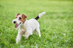 Adorable happy fox terrier dog at the park Royalty Free Stock Images