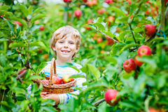 Little kid boy picking red apples on farm autumn Stock Photos