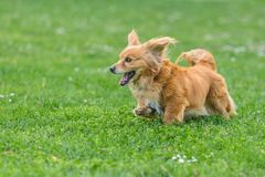 Adorable happy mixed breed brown dog running royalty free stock image
