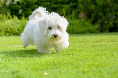 Cute, happy puppy running on summer green grass. An adorable, happy puppy caught in motion while running on vibrant green grass in summer royalty free stock photography