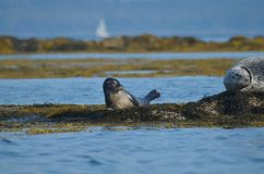 Cute Seal Pup on a Bed of Seaweed in Maine. Adorable harbor seal pup on a bed of seaweed in Maine Royalty Free Stock Photography