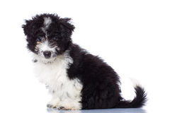 Adorable Havanese Bichon Sitting Stock Photography