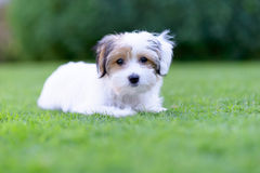 Adorable havanese maltese puppy backyard portrait. An adorable portrait of a havanese maltese puppy lying down on green grass in a vibrant summer backyard Stock Photography