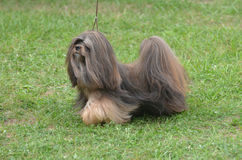 Adorable Havanese Puppy Dog on Leash. Cute small havanese dog standing on leash in a grassy area Stock Photo