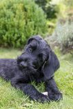 Adorable head tilting puppy of giant black schnauzer dog. Lying on the lawn. Vertically Royalty Free Stock Images