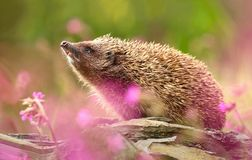 Adorable hedgehog in flowers royalty free stock photos