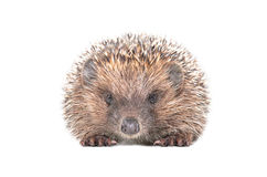 Adorable hedgehog Royalty Free Stock Photography