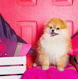 Adorable high bred spitz dog Stock Images