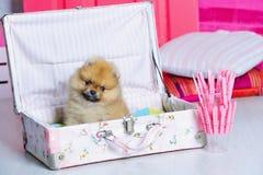 Adorable high bred spitz puppy Stock Photos