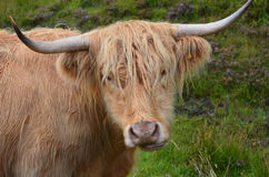 Adorable Highland Cattle Chewing on Grass royalty free stock photos