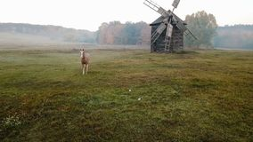 Adorable horse grazes in a clearing with a mill. Beautiful rural mood scene. Countryside foggy morning. Video footage. Drone aeriel. Foggy mood morning stock video
