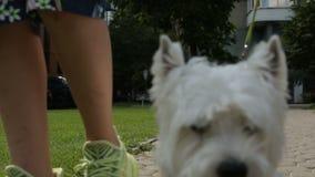 Adorable Hund WEst Hügel und weißer Terrier Hund, der durch die Stadt spaziert stock video footage