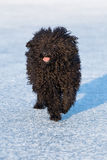 Adorable hungarian dog breed, puli Royalty Free Stock Image