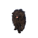Adorable hungarian dog breed, puli Royalty Free Stock Photo