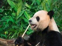 Adorable hungry Giant Panda (Ailuropoda melanoleuca) eating bamboo shoots. stock photos