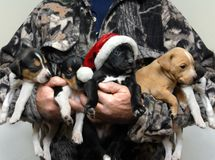 Adorable Hunting Dog for Christmas Royalty Free Stock Photos