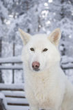 Adorable husky Royalty Free Stock Photography