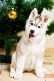 Adorable husky dog Stock Photos