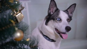 Adorable husky dog near New year tree, guards Christmas presents. Close up. stock video footage