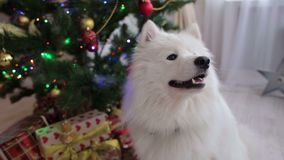 White fluffy dog in the house near Christmas tree. Adorable husky dog near New year tree, guards Christmas presents. Close-up. Dog husky Samoyed near the stock footage