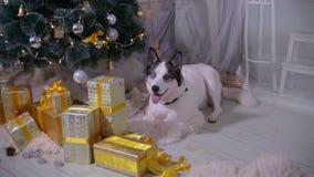 Adorable husky dog near New year tree, guards Christmas presents. HD stock video