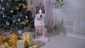 Adorable husky dog near New year tree, guards Christmas presents. stock video footage