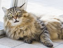 Brown tabby siberian cat male gender, pet of livestock. Adorable hypoallergenic cat of siberian breed, lying outdoor. Pet of livestock Royalty Free Stock Photography