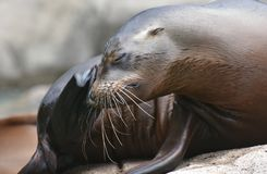 Adorable Shot of a Silky Looking Sea Lion. Adorable Image of a Silky Looking Sea Lion Royalty Free Stock Photography