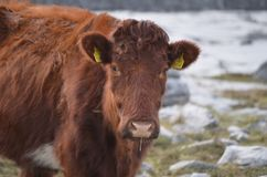 Adorable Ireland cow in the Burren park. Adorable Ireland cow with a thick brown coat in the Burren park Royalty Free Stock Images