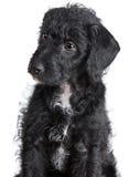 Adorable Jack-a-Doodle Puppy Stock Photos